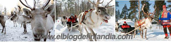 Safari de renos: descubre cómo viajaban los samis en la antigüedad