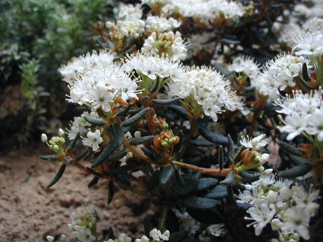 Suopursu (Rhododendron palustre)- Foto de Sten Porse, Wikipedia.