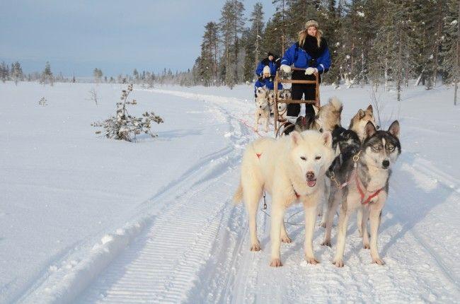 Excursión con huskys en Laponia