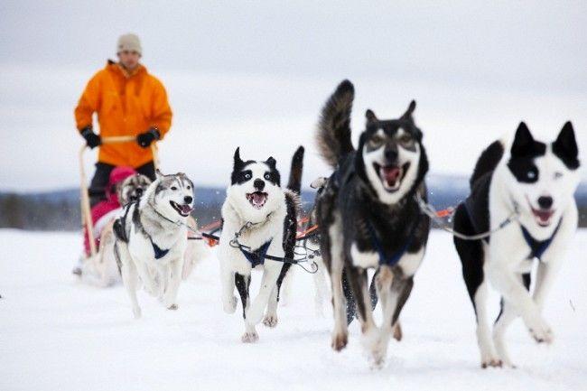 Huskies en acción-Saariselkä, foto: VisitFinland.