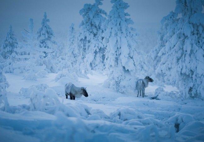Renos en el bosque de Saariselkä en invierno (foto:VisitFinland)