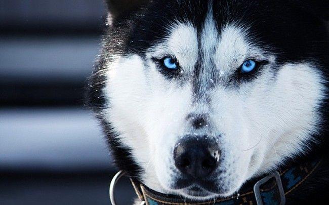 Husky Siberiano ojos azules.
