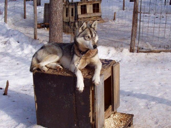 Husky Siberiano, Polar Speed