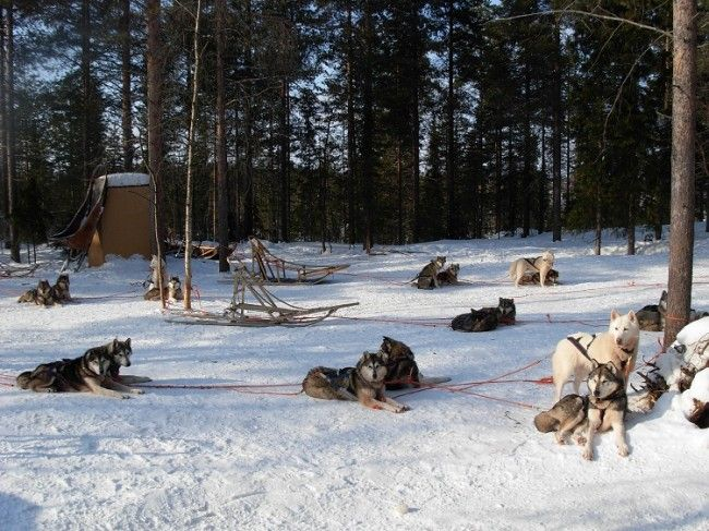 Huskys Siberianos - Polar Speed