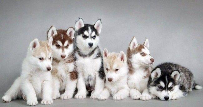 Cachorros de Husky Siberianos (foto:Wallruru)