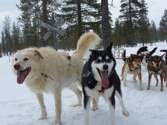 Huskys Alaska