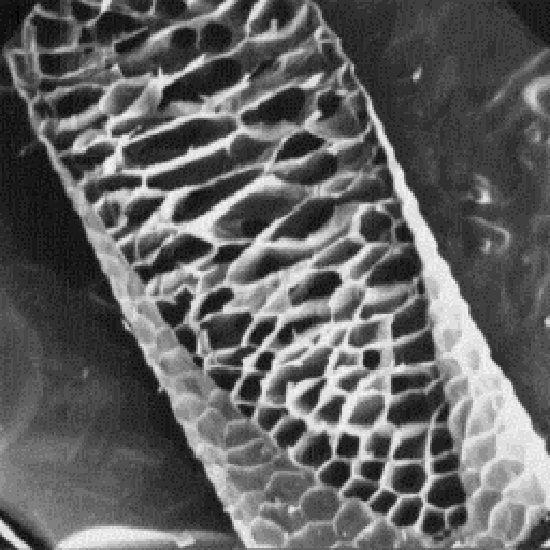 Pelo de reno visto con microscopio