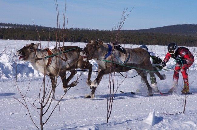 Carrera de renos en Inari