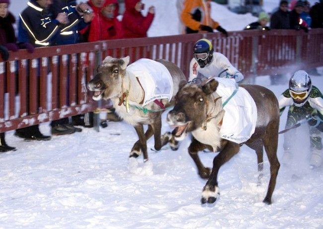 Carrera de renos en Rovaniemi
