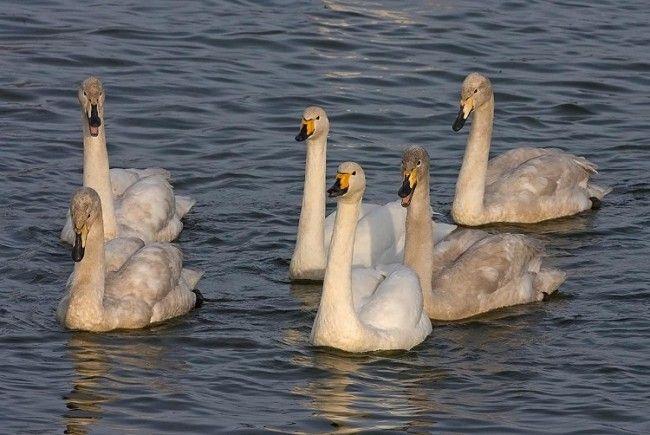Familia de cisnes cantores blancos nadando