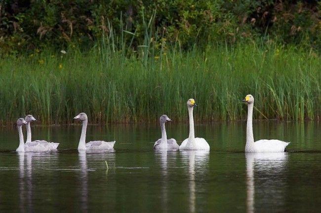 Familia de cisnes cantores blancos
