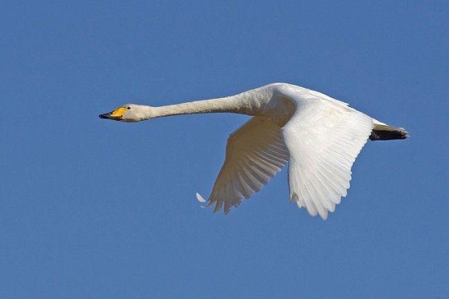 Cisne cantor blanco disfrutando del vuelo