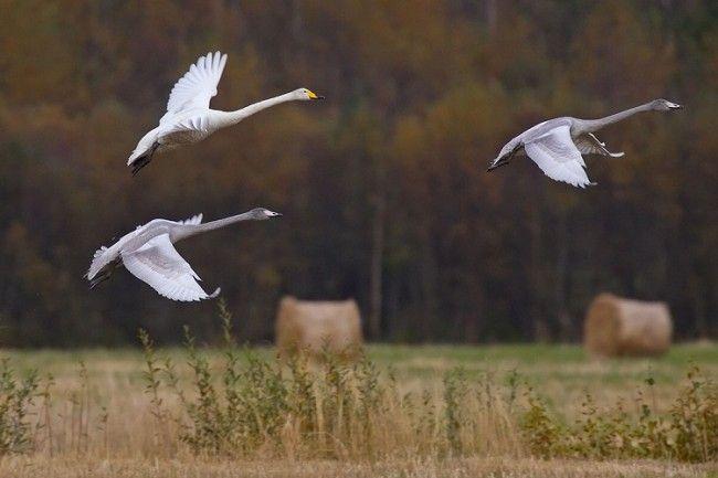 Cisnes cantores blancos