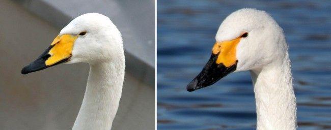 Cisne cantor blanco y cisne chico