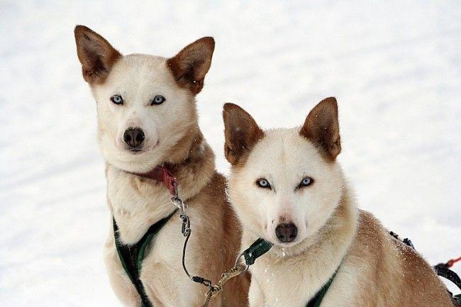 Aullidos en el Circulo Polar (actividades con perros de trineo)