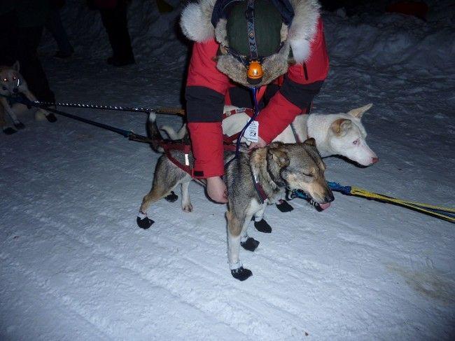 Aullidos en el circulo polar actividades con perros de for Veterinario di punto di cabina
