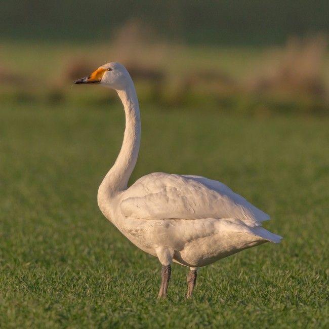 Cisne cantor. El pájaro nacional de Finlandia