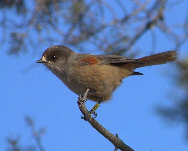 El Arrendajo funesto (Kuukkeli) es un pájaro que no migra