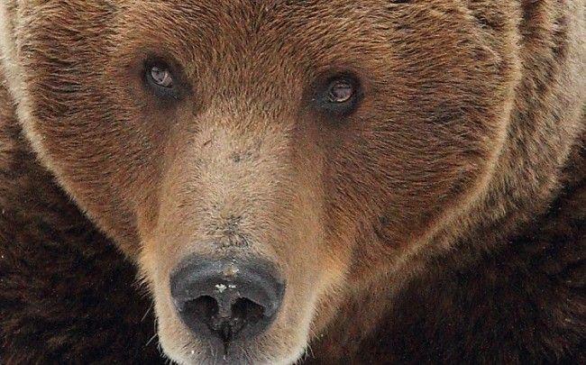 El oso: Animal nacional de Finlandia
