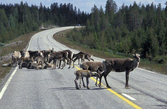 Renos en la carretera en Laponia