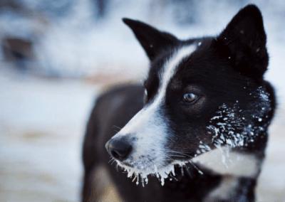 Excursiones de huskys en Rovaniemi