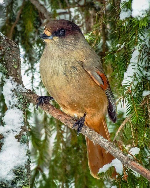 El Kukkeli (Perisoreus Infaustus) es un pájaro que vive todo el año en Finlandia