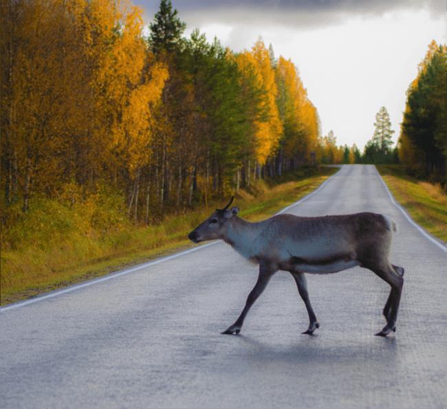Reno en verano en Laponia finlandesa