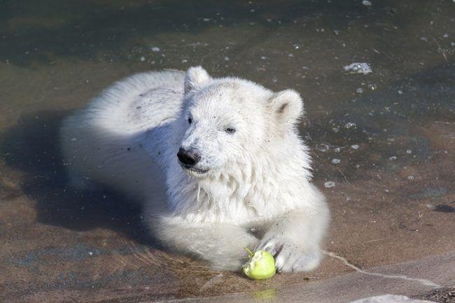 El pequeño oso comiendo una manzana