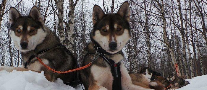El principiante y los perros Husky