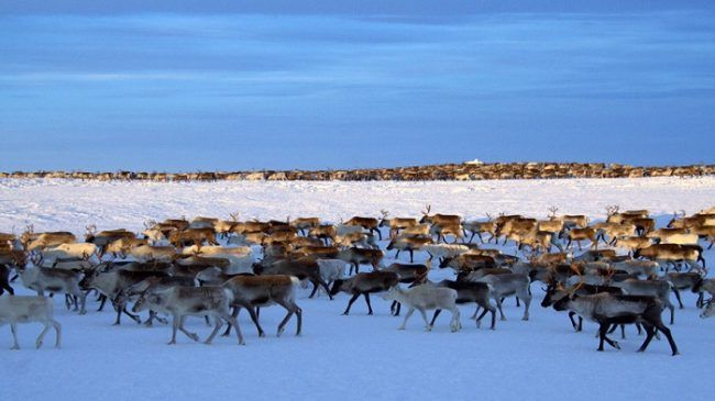 Rebaño de renos en Sevettijärvi