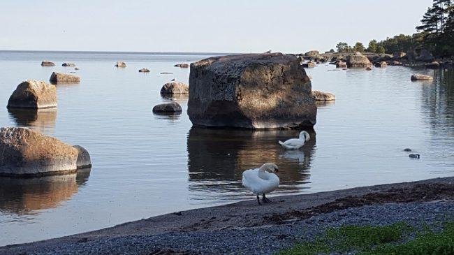 Cisnes cantores en algún lugar del archipiélago de Porvoo