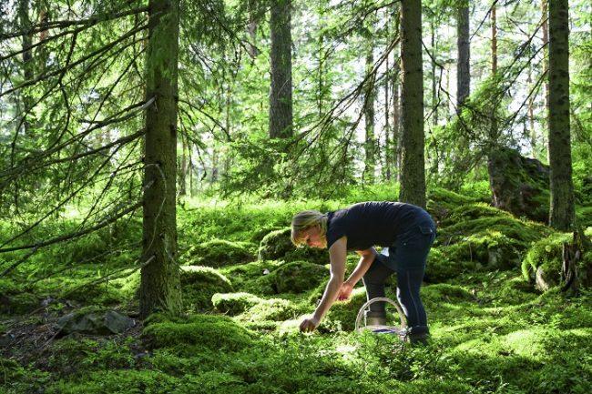 Recogiendo bayas en el bosque del municipio de Sipoo