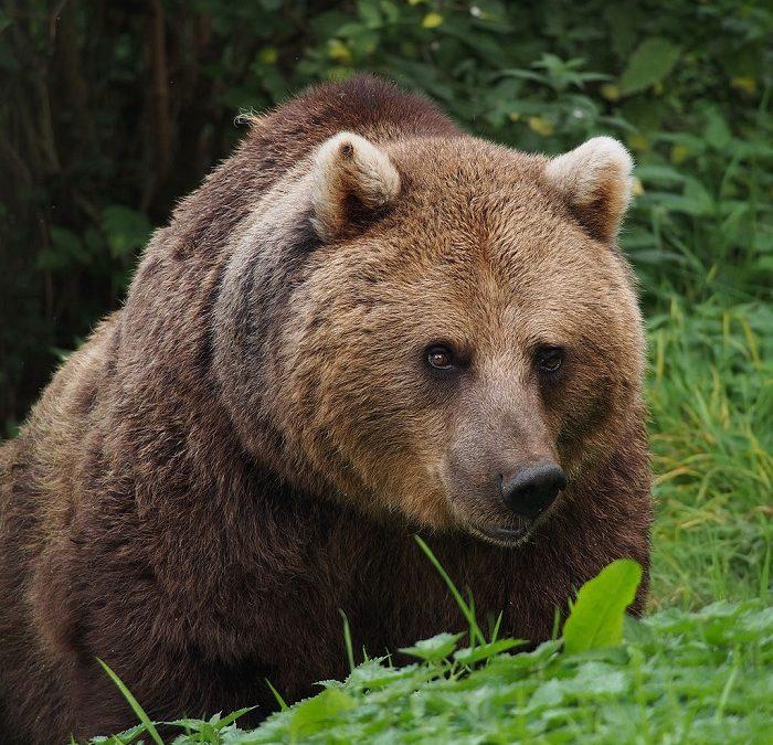 Observar osos en Finlandia