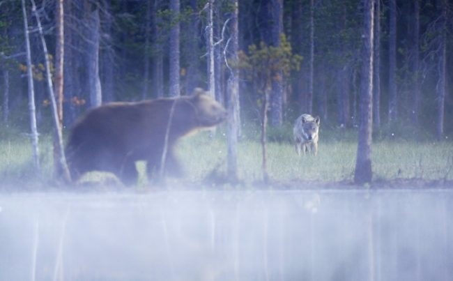 Un oso pardo y un lobo son atraídos por la comida