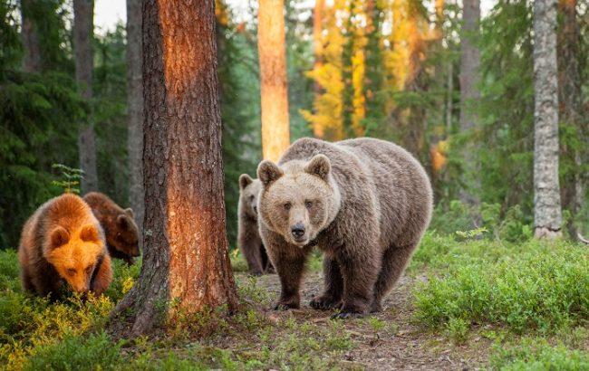 Osos pardos en el bosque de Finlandia