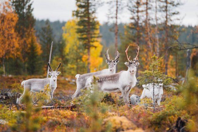 Renos en el Parque Nacional Pallas Yllästunturi durante el otoño