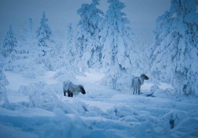Renos en invierno en los alrededores de Saariselkä