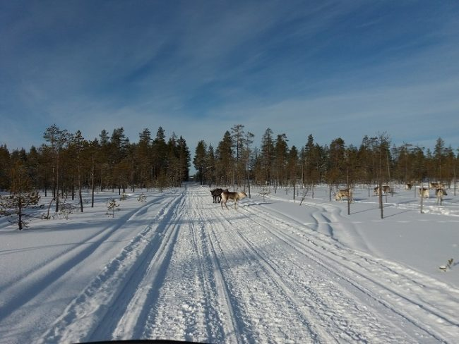 También se pueden encontrar renos en la pista de moto de nieve