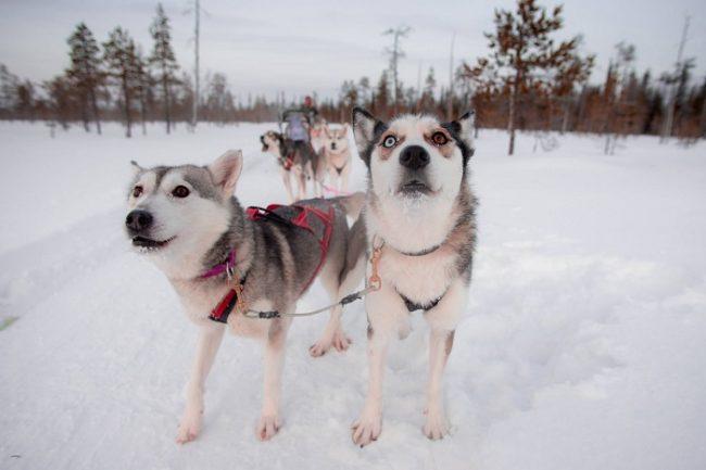 Safari con perros husky en los alrededores de Levi