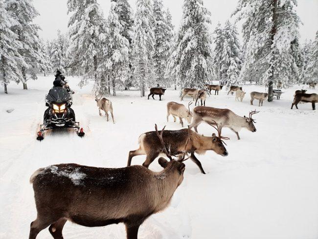 Al carecer de ruido con las motos de nieve eléctricas los renos no se asuntan