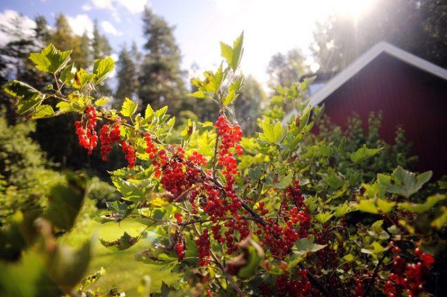 La Grosella también es muy utilizada para crear vinos y espumosos en Finlandia