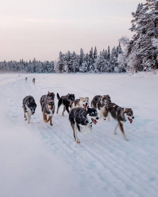 En Bearhill Husky también entrenan a sus huskys corriendo libremente