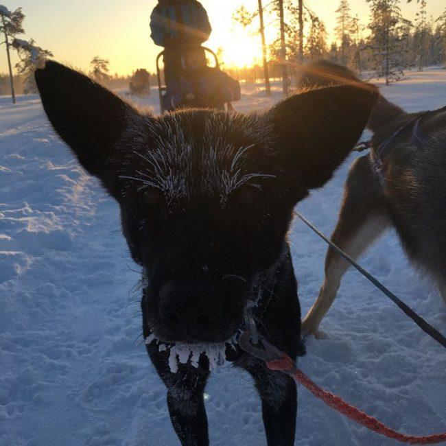Husky de Alaska durante una corta parada