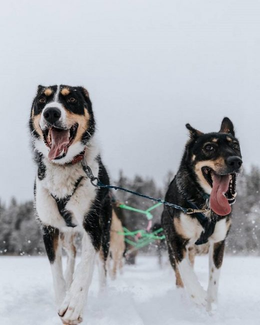 Los husky de Alaska son muy diferentes entre ellos pero a todos les encanta salir de excursión