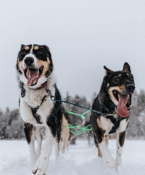 Safari de dos días con perros husky en Rovaniemi