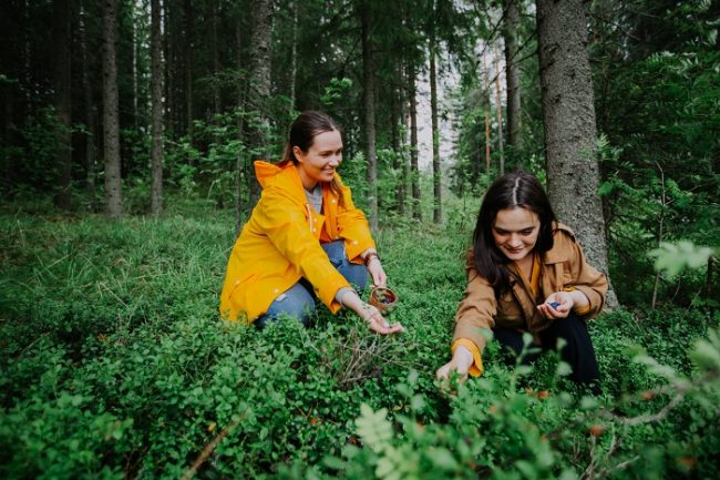Recogiendo bayas en el bosque del Parque Nacional de Etelä-Konneveden