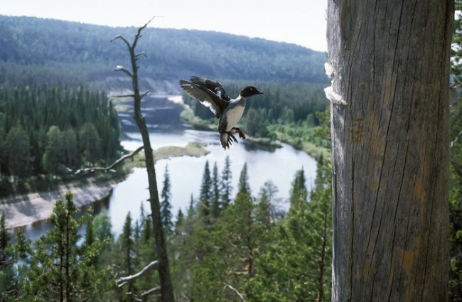 Porrón osculado y el río Oulankajoki en el parque nacional de Oulanka