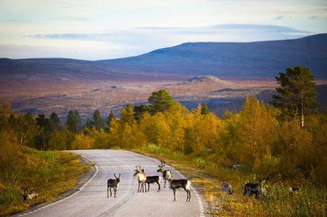 Renos en una carretera de Laponia en otoño