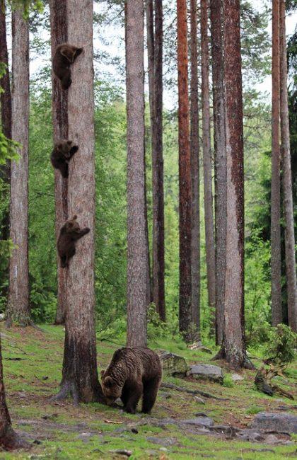 Hossa es un buen lugar para la observación de manera segura de osos y otros animales