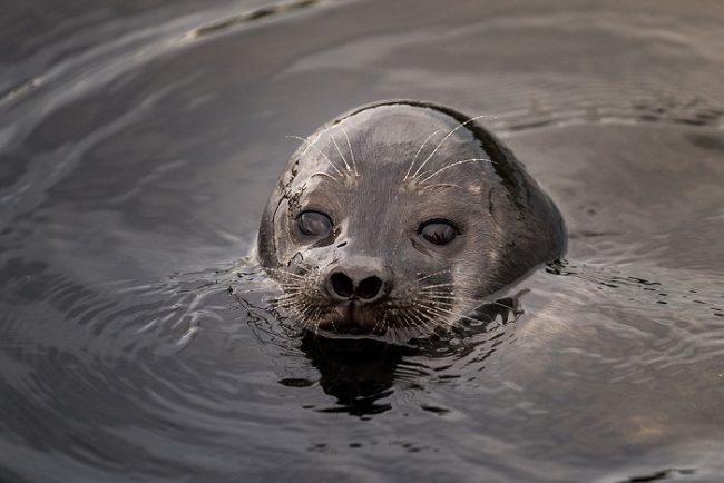 La foca anillada de Saimaa se puede ver en el Parque Nacional de Kolovesi